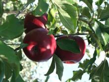 ябълка сн.park-gradina.com