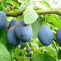 Полезните и вкусни сини сливи