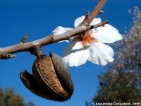 Бадемово клонче с цвят и плод